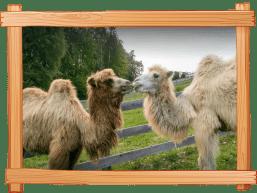 Alpaka und Kamel Erleben